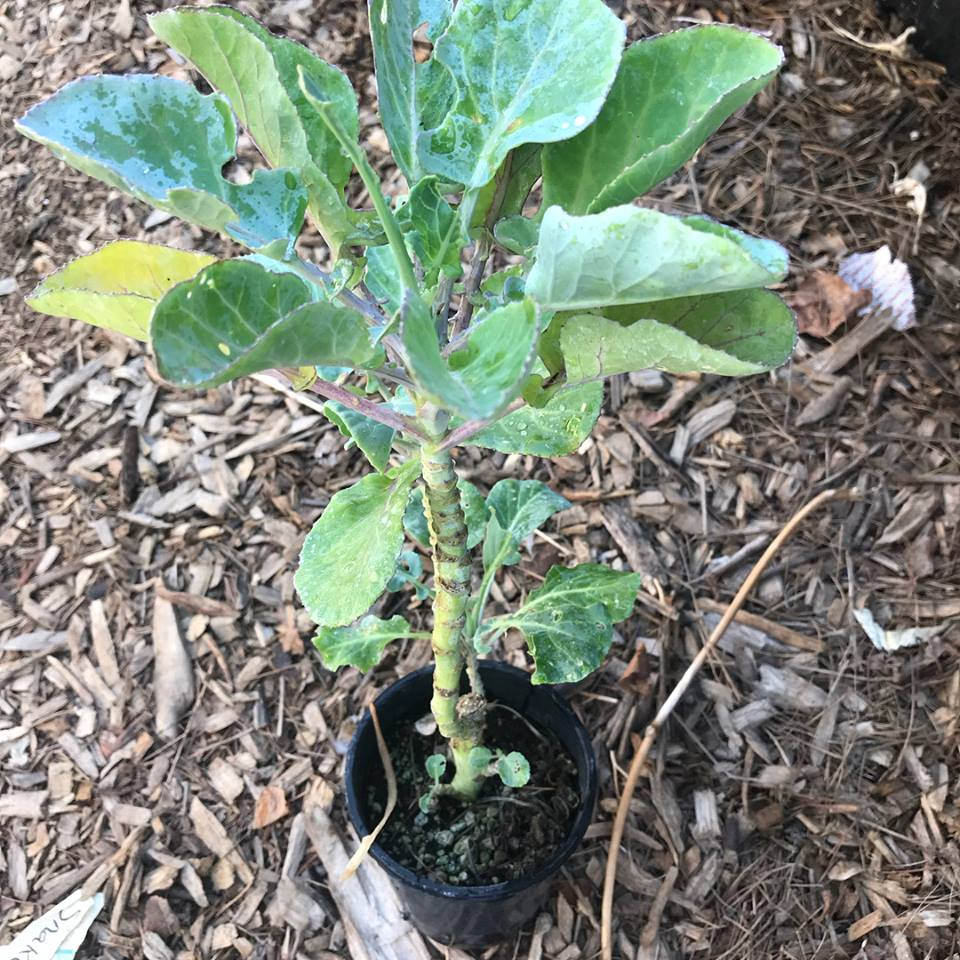 Perennial Tree Collard / Kale