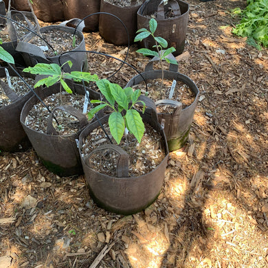 Pawpaw (seedling/ungrafted)