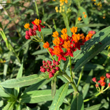 Load image into Gallery viewer, Milkweed, Tropical