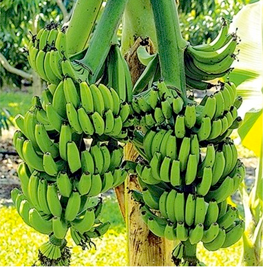 Banana, Double Mahoi (available 6/1/2020)