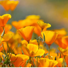 Load image into Gallery viewer, Pacific Coast Seed, California Poppy