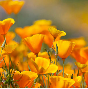 Pacific Coast Seed, California Poppy