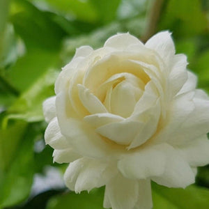 Grand Duke of Tuscany - Arabian Jasmine Plant - Fragrant