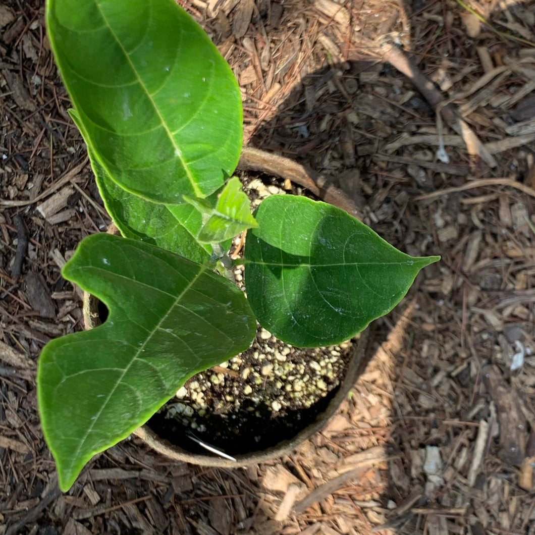 Jackfruit, Seedling