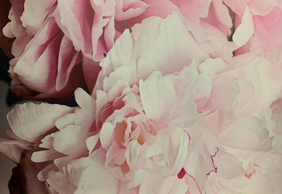 Art -24x36 Pink Peonies with white