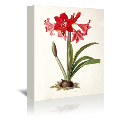 Amaryllis Johnsoni by New York Botanical Garden Wrapped Canvas - Wrapped Canvas - Americanflat