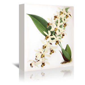 Fitch Orchid Caelogyne Massangena by New York Botanical Garden Wrapped Canvas