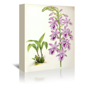 Fitch Orchid Calanthe Veitchii by New York Botanical Garden Wrapped Canvas