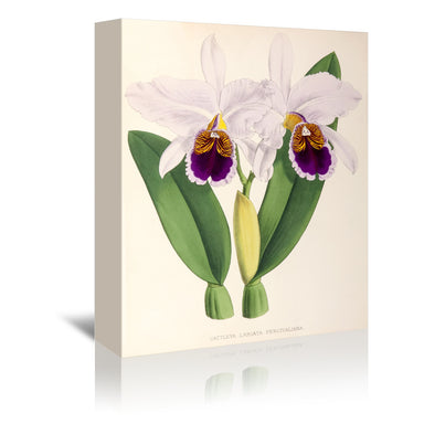 Fitch Orchid Cattleya Labiata Percivaliana by New York Botanical Garden Wrapped Canvas - Wrapped Canvas - Americanflat