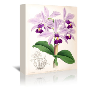 Fitch Orchid Cattleya Superba Splendens by New York Botanical Garden Wrapped Canvas