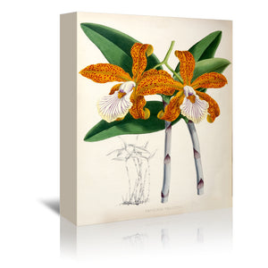 Fitch Orchid Cattleya Velutina by New York Botanical Garden Wrapped Canvas