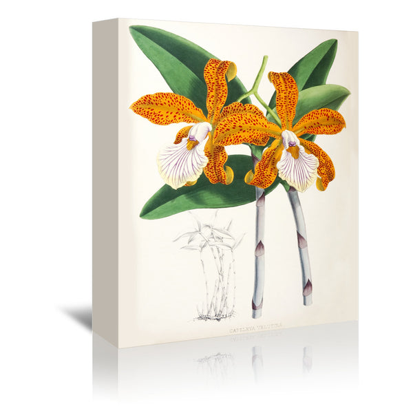 Fitch Orchid Cattleya Velutina2 by New York Botanical Garden Wrapped Canvas