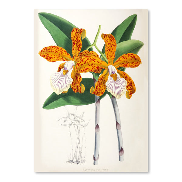 Fitch Orchid Cattleya Velutina2 by New York Botanical Garden Art Print