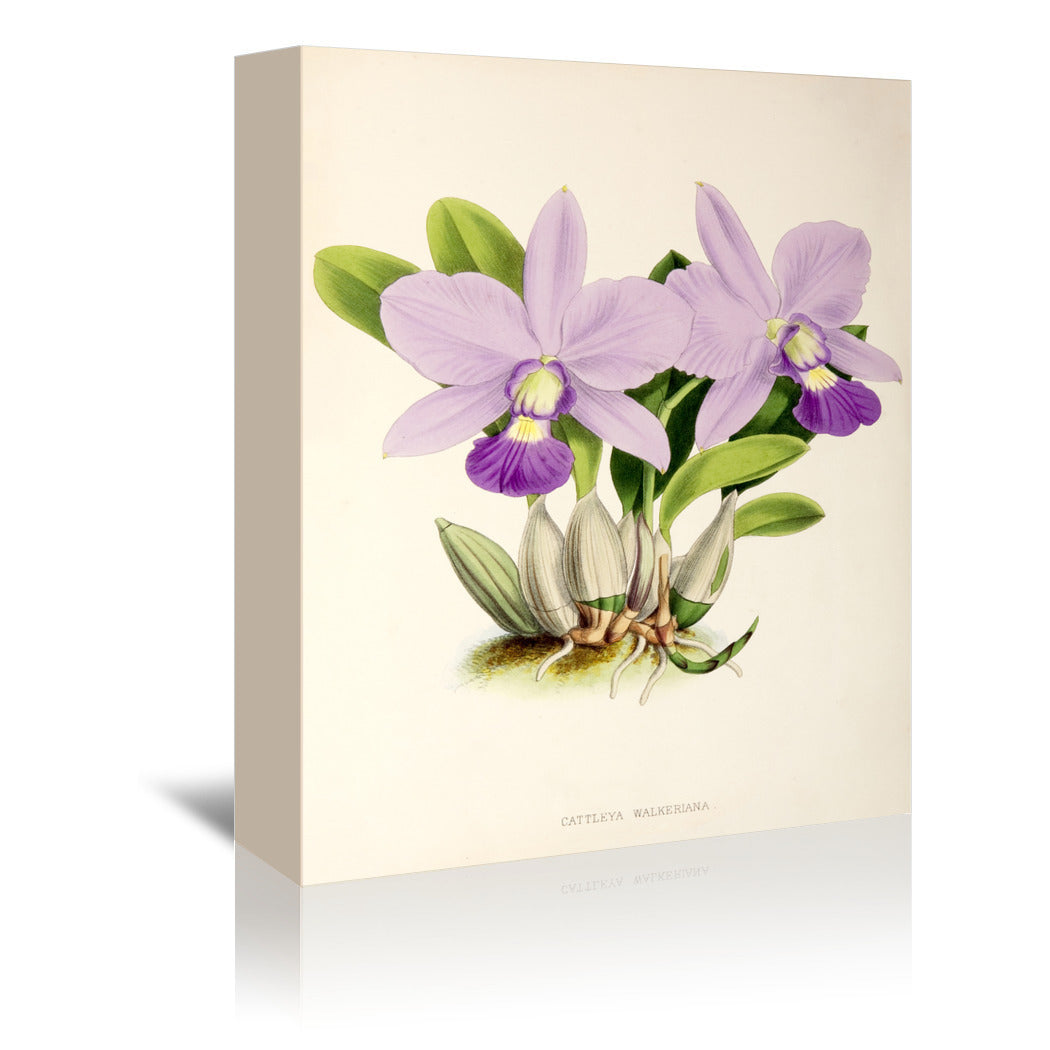Fitch Orchid Cattleya Walkeriana by New York Botanical Garden Wrapped Canvas - Wrapped Canvas - Americanflat
