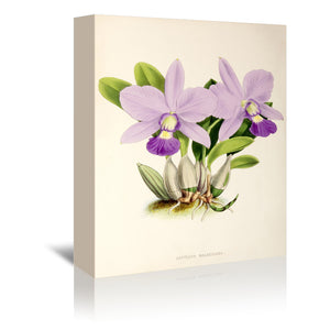 Fitch Orchid Cattleya Walkeriana by New York Botanical Garden Wrapped Canvas
