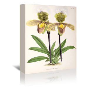 Fitch Orchid Cypripediuminsigne by New York Botanical Garden Wrapped Canvas