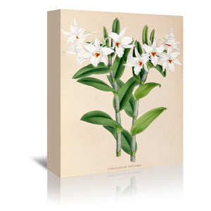 Fitch Orchid Dendrobium Draconis by New York Botanical Garden Wrapped Canvas