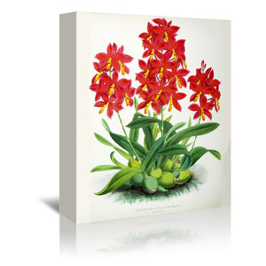 Fitch Orchid Epidendrum Vitellinummajus by New York Botanical Garden Wrapped Canvas