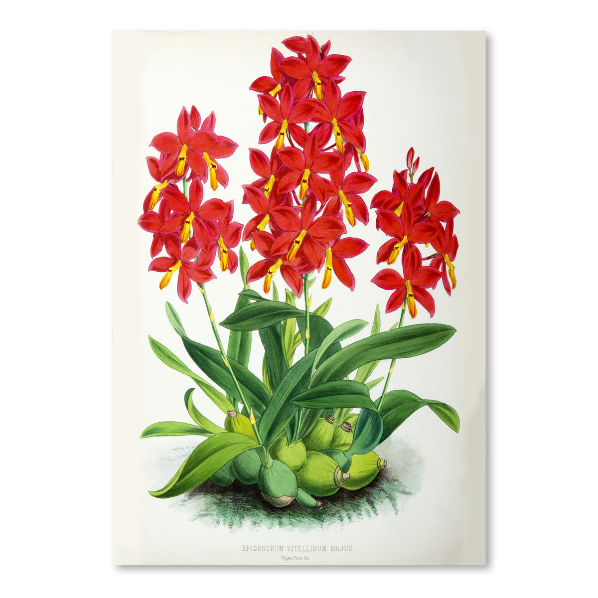 Fitch Orchid Epidendrum Vitellinummajus by New York Botanical Garden Art Print - Art Print - Americanflat