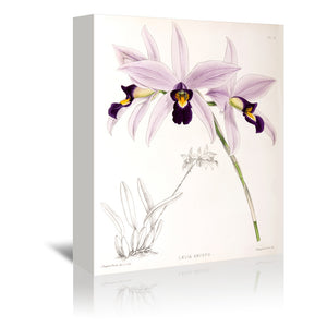 Fitch Orchid Laelia Anceps by New York Botanical Garden Wrapped Canvas