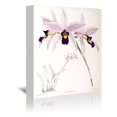 Fitch Orchid Laelia Anceps by New York Botanical Garden Wrapped Canvas - Wrapped Canvas - Americanflat