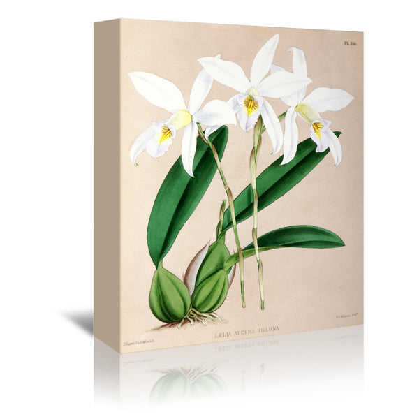 Fitch Orchid Laelia Anceps Hilliana by New York Botanical Garden Wrapped Canvas
