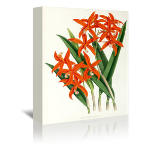 Fitch Orchid Laelia Harpophylla by New York Botanical Garden Wrapped Canvas