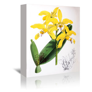 Fitch Orchid Laelia Xanthina by New York Botanical Garden Wrapped Canvas