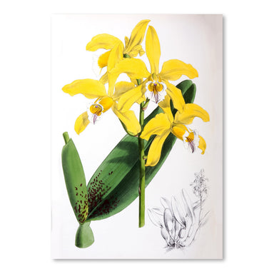 Fitch Orchid Laelia Xanthina by New York Botanical Garden Art Print - Art Print - Americanflat