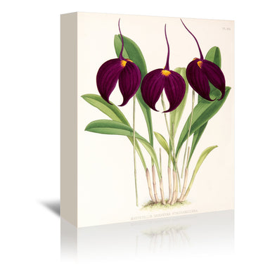 Fitch Orchid Masdevallia Harryana Atrosanguinea by New York Botanical Garden Wrapped Canvas - Wrapped Canvas - Americanflat