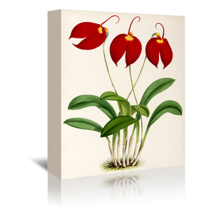 Fitch Orchid Masdevalliaignea by New York Botanical Garden Wrapped Canvas