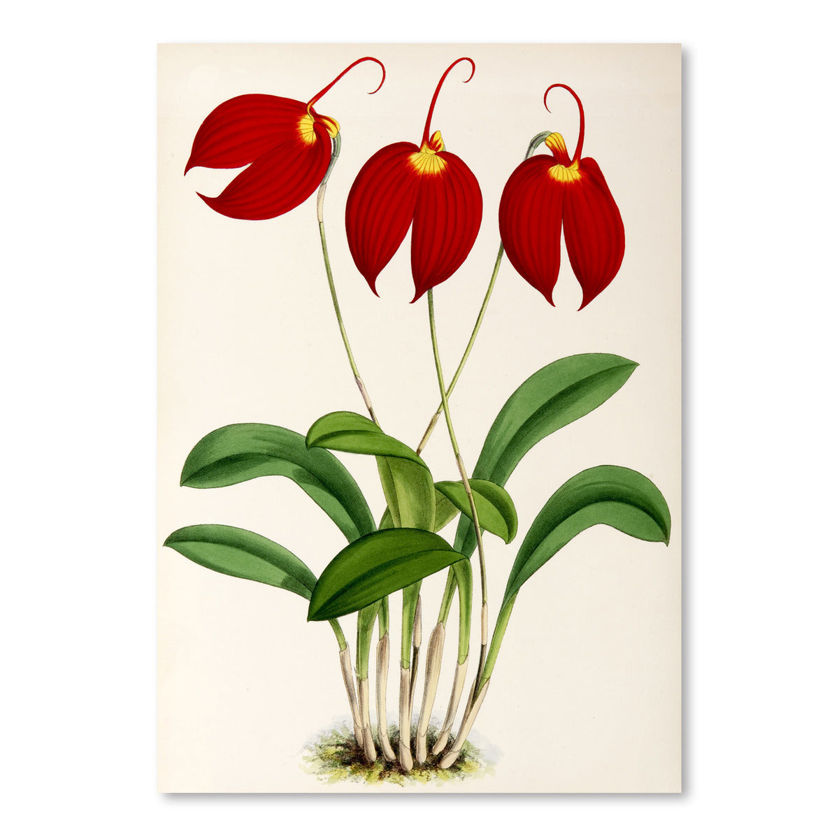 Fitch Orchid Masdevalliaignea by New York Botanical Garden Art Print - Art Print - Americanflat