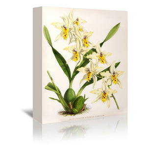 Fitch Orchid Odontoglossum Alexandrae Flaveolum by New York Botanical Garden Wrapped Canvas