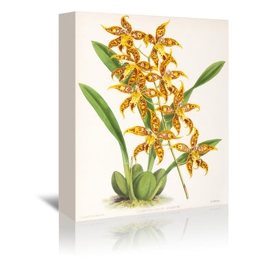 Fitch Orchid Odontoglossum Leeanum by New York Botanical Garden Wrapped Canvas - Wrapped Canvas - Americanflat
