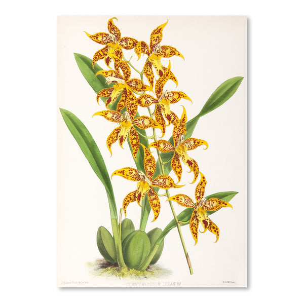 Fitch Orchid Odontoglossum Leeanum by New York Botanical Garden Art Print