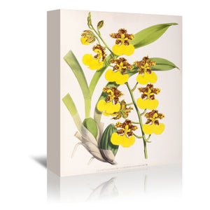 Fitch Orchid Odontoglossum Londesboroughianum by New York Botanical Garden Wrapped Canvas