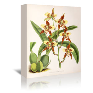 Fitch Orchid Odontoglossum Maculatum by New York Botanical Garden Wrapped Canvas