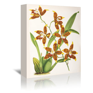 Fitch Orchid Odontoglossum Triumphans by New York Botanical Garden Wrapped Canvas