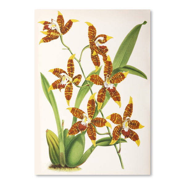 Fitch Orchid Odontoglossum Triumphans by New York Botanical Garden Art Print