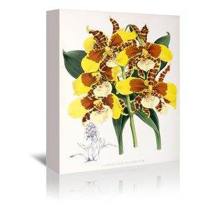 Fitch Orchid Odontoglossum Williamsianum by New York Botanical Garden Wrapped Canvas