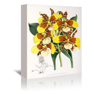 Fitch Orchid Odontoglossum Williamsianum by New York Botanical Garden Wrapped Canvas - Wrapped Canvas - Americanflat