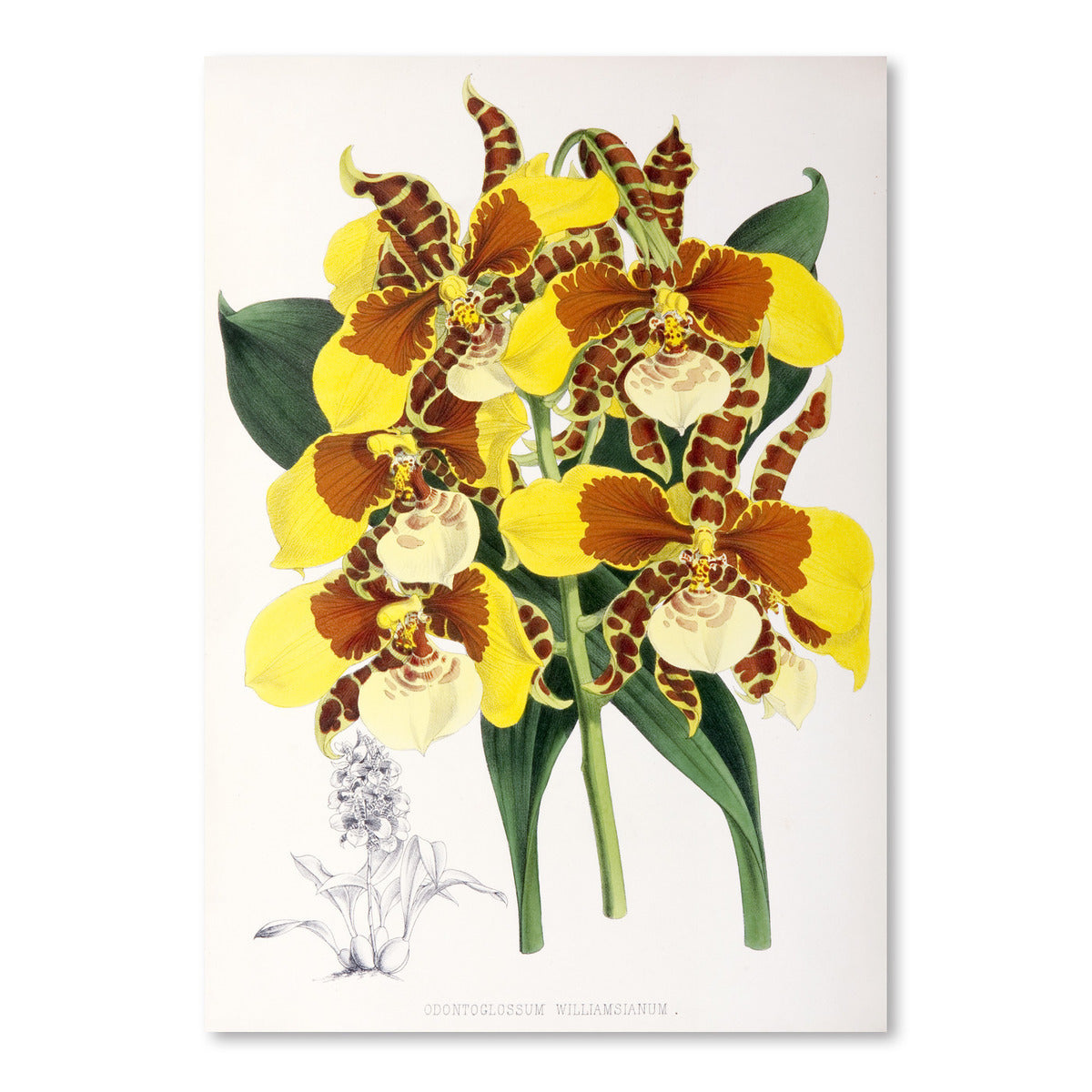 Fitch Orchid Odontoglossum Williamsianum by New York Botanical Garden Art Print - Art Print - Americanflat