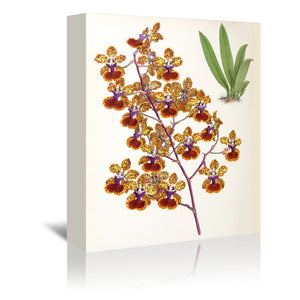 Fitch Orchid Oncidium Haematochilum by New York Botanical Garden Wrapped Canvas