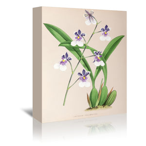 Fitch Orchid Oncidium Phalaenopsis by New York Botanical Garden Wrapped Canvas