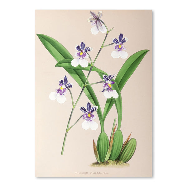 Fitch Orchid Oncidium Phalaenopsis by New York Botanical Garden Art Print