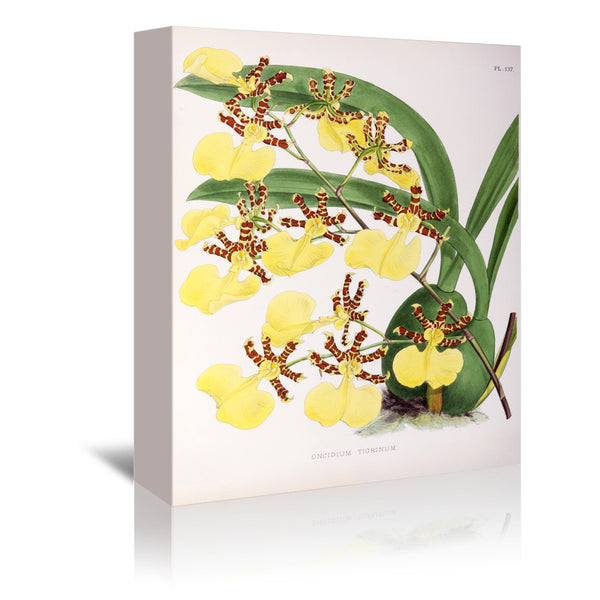 Fitch Orchid Oncidium Tigrinum by New York Botanical Garden Wrapped Canvas