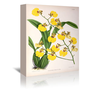 Fitch Orchid Oncidium Varicosum by New York Botanical Garden Wrapped Canvas
