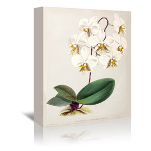 Fitch Orchid Phalaenopsis Stuartiana Nobilis by New York Botanical Garden Wrapped Canvas