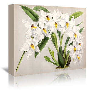 Fitch Orchid Plate47 by New York Botanical Garden Wrapped Canvas
