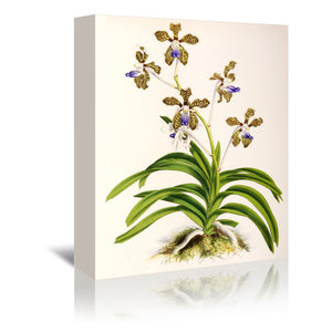 Fitch Orchid Vanda Roxburghii by New York Botanical Garden Wrapped Canvas
